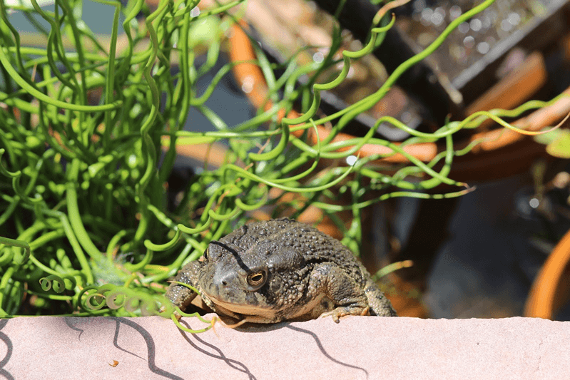 IMG_4478_-_Woodhouse_s_toad_4_